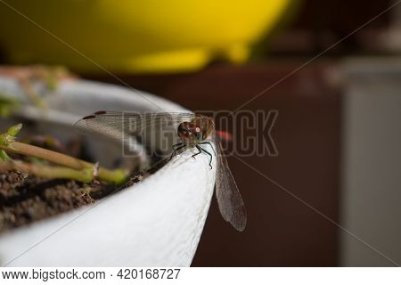 Red Dragonfly Sitting On White Flower Pot Picture.