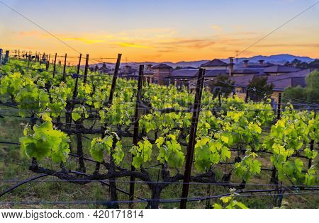 Close View Of Grape Vines At Sunset At A Vineyard In The Spring In Napa Valley, California, Usa