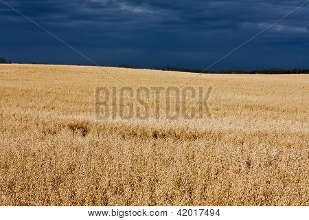 Oat Field In The Sun