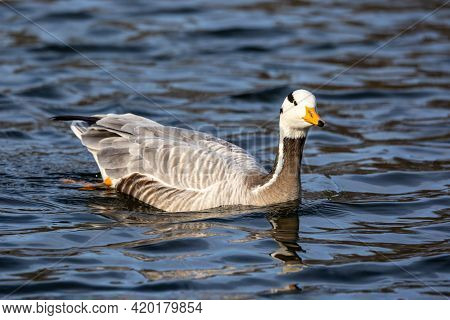 The Bar-headed Goose, Anser Indicus Is A Goose That Breeds In Central Asia In Colonies Of Thousands