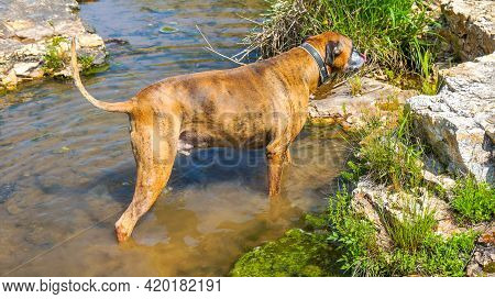 Dog Plays In A Creek To Cool Off During Summer.