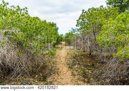 Coastal Landscape With Pine Trees. Mediterranean Plants.