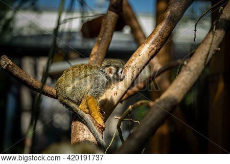 Cute Saimiri Sits On A Branch And Looks Away