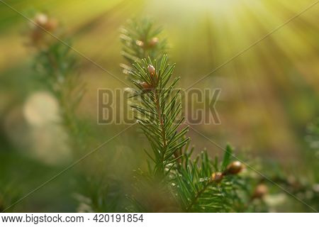 Fir Branch With Needles Close-up On A Green Blurred Background. Sunlight In The Wild Forest, Backgro