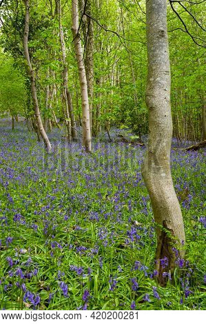 Blubell Carpet In Woodland Setting Taken In Cambusnethan Woods