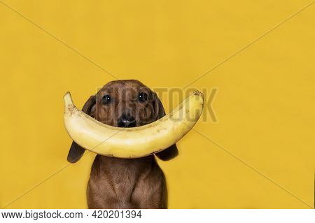 A Red-haired Dachshund Dog Looks Attentively At The Camera On A Yellow Background And In Front Of It