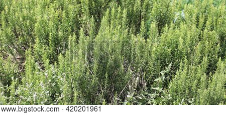 Large Bush Of Rosemary The Typical Aromatic Herb Of The Mediterranean Region Used In Many Recipes