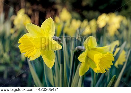 Blossoming Buds Of Yellow Daffodil Planted In The Ground In Rays Of The Setting Sun. City Flower Bed