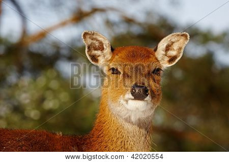 Closeup Of A Deer In A Forest