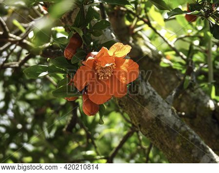 Branch With Flowers And Ovary Of Fruit Of A Pomegranate Tree Close-up On A Background Of Green Folia