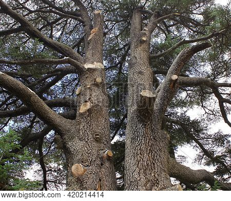 Two Cedar Tree Trunks Standing Tall In The Forest Of The Cedars Of God In Lebanon.