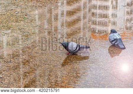 Two Wild Pigeons Bathe In A Puddle On A Sunny Day. High Angle View Of Pigeons Perching On Puddle