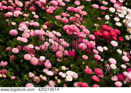 Pink Terry Daisy In The Meadow With Other Such Flowers Bellis Perennis. Close-up. Blurred Background