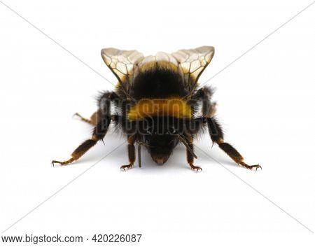 Buff-tailed bumblebee, Bombus, isolated on white background