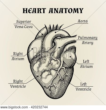 Close Up Black And White Heart Anatomy With Labels Graphic Design.