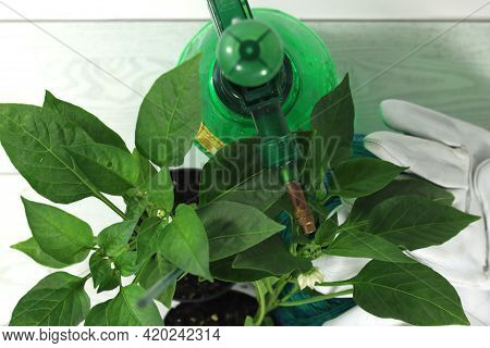 Horticulture Transplanting The Pepper Plant Into The Dwelling