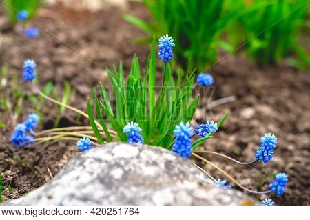 Small Spring Flowers Muscari Blue.