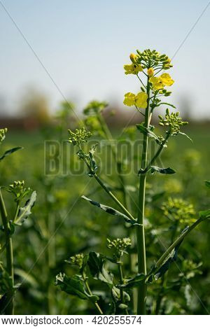 Green Leaves Of Rapeseed , Canola Or Colza (brassica Napus). Plant For Green Energy And Oil Industry