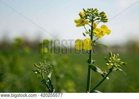 Rapeseed. Rapeseed Flower. Sinapis Arvensis .the Charlock Mustard .field Mustard.wild Mustard Or Cha