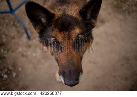 Portrait Of German Shepherd Dog. German Shepherd Dog Head. Portrait Of German Dog