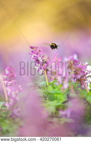 Bumblebee Among Flowers. Bumblebee In Spring. Sweet Photo From Nature. Nice Insect. Photo From Wild