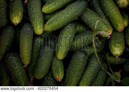 Fresh Rustic Cucumbers. Photo Of Fresh Cucumber Close-up And Flowering Cucumber On A Vine, Agricultu