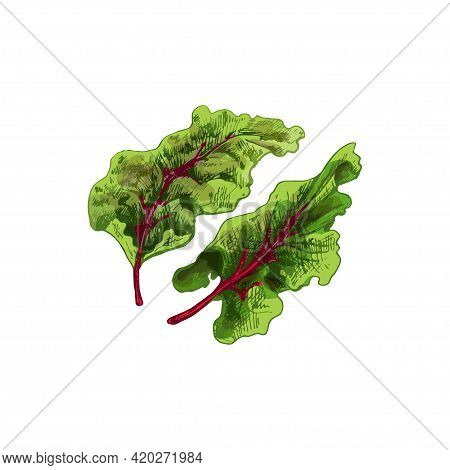 Swiss Chard Fresh Green Leaves. Vintage Vector Hatching Color Hand Drawn Illustration Isolated On Wh