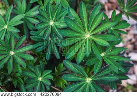 Lupin Leaves Top View - Lupinus Polyphyllus