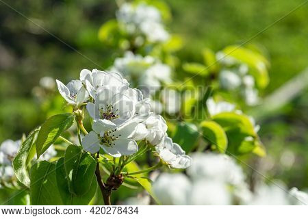 Lovely White Apple Trees Bloom Against A Background Of Green Leaves. Blooming Fruit Trees In Spring.