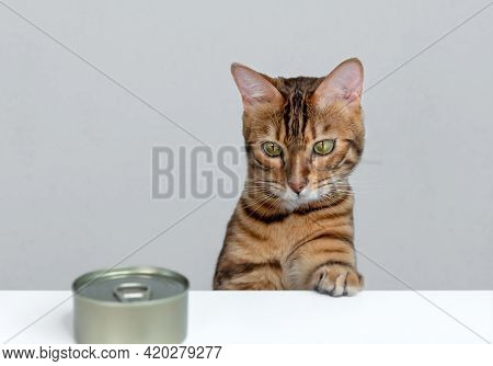 Feeding A Bengal Cat Cat Food From A Metal Can. Pet Feeding Concept