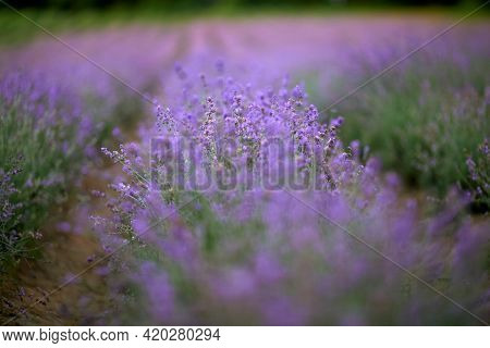 Long Beautiful Endless Violet Patches On Lavender Field, Meadow In Summer Day. Bright Purple Flowers