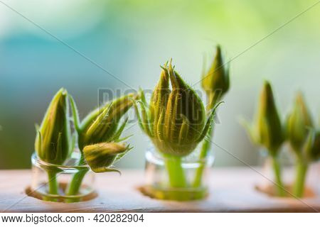 Unopened Buds Of Zucchini Flowers In Test Tubes With Water. Excess Buds Of Barren Flowers Are Remove