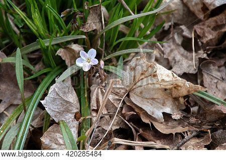 One Michigan Hepatica Wildflower Growing In Dead Leaves
