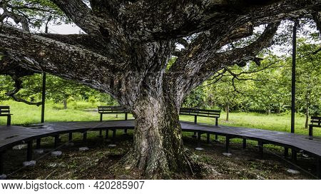 Wooden Bench Around The Large Green Trees, Tranquil Atmosphere Under The Trees, Walkway Around The L
