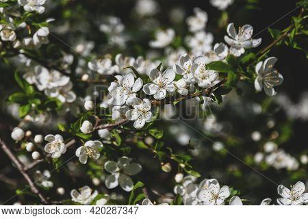 Sloe Tree Blossoming In Spring - Prunus Spinosa White Blooming Tree