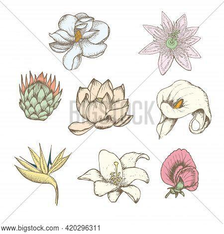 Colored Drawing Botanical Exotic Flowers Set With Protea Magnolia Passiflora Lathyrus Strelitzia Lot