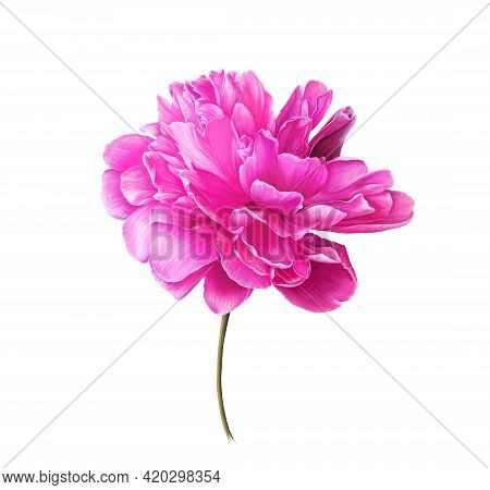 Single Bright Pink Peony Flower. Isolated Color Pencil Drawing Flower Head On White Background. Orna