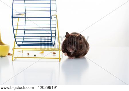 A Domestic Hamster Crawls Near The Jogging Wheel. Hamster On A White Background. Front View.