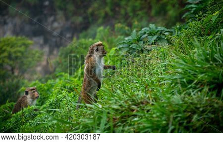 Toque Macaque Standing By Two Feet In A Steep Slope In A Rainforest, A Pack Of Monkeys Climbing Towa