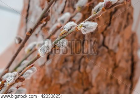 Willow Branch On The Background Of Trees And Various Branches. Brunch Of The Blossoming Pussywillow