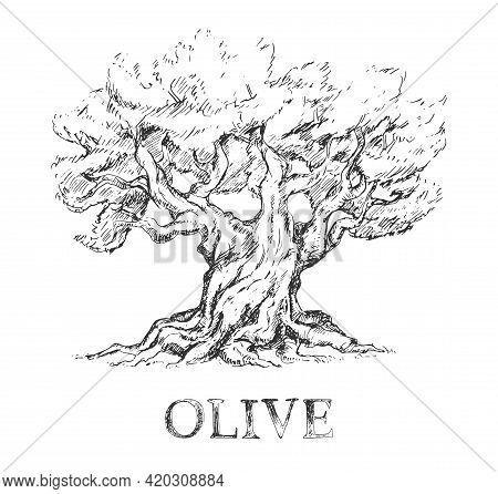 Beautiful Sketchy Olive Tree In Sketchy Style, Vintage Illustration On White Background