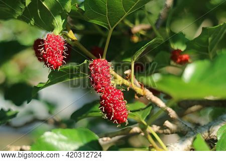 Closeup Vibrant Red Immature Mulberry Fruits Ripening On Its Tree