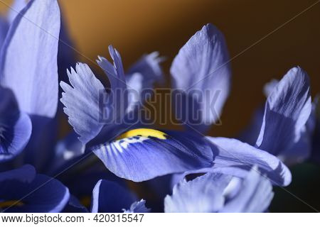 Iris Alida Flowers - Latin Name - Iris Reticulata Alida