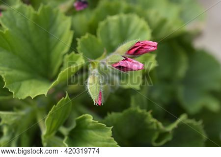 Regal Pelargonium Hybrid Flower Buds - Latin Name - Pelargonium X Domesticum (pelargonium Grandiflor