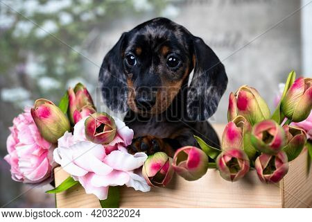 dachshund puppy brown tan marble color and bouquet of pink flowers