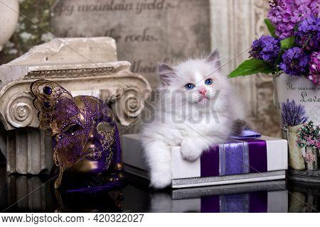 Kitten breed ragdoll and flowers