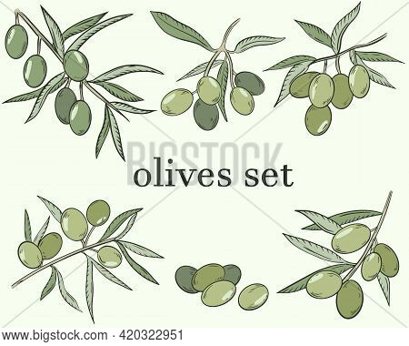 Sketch Of Olives. Vector. A Set Of Olives, Berries On A Branch. The Fruits Of The Olive Tree. Color