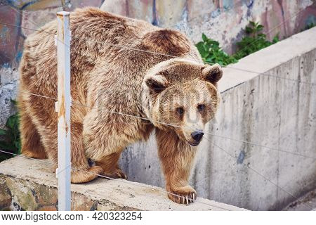 A Rare Hybrid Of A Brown And Tibetan Bear With A White Spot On Its Neck Walks Around The Enclosure.