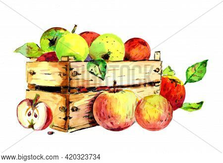 Watercolor Drawing Of Red And Green Apples. The Harvest Of Apples Is Collected In A Wooden Box