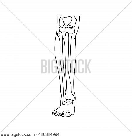 Human Calf With Skeleton, Front View. Human Leg Bones Drawn Wines Lines On White Background. Vector